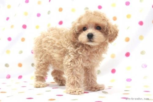 トイプードルの子犬(ID:1236011221)の3枚目の写真/更新日:2018-10-21