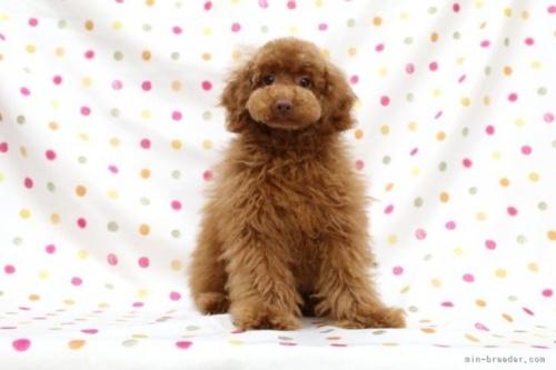 トイプードルの子犬(ID:1236011224)の2枚目の写真/更新日:2021-04-09