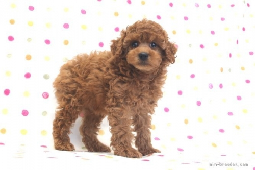 トイプードルの子犬(ID:1236011224)の3枚目の写真/更新日:2021-04-09