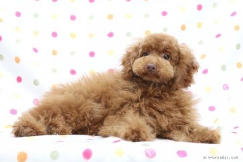 トイプードルの子犬(ID:1236011224)の4枚目の写真/更新日:2021-04-09