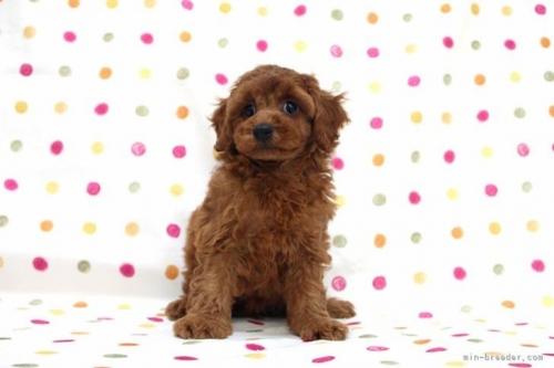 トイプードルの子犬(ID:1236011225)の2枚目の写真/更新日:2020-08-21