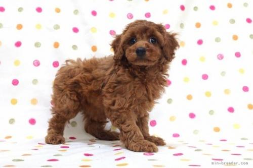 トイプードルの子犬(ID:1236011225)の3枚目の写真/更新日:2020-08-21