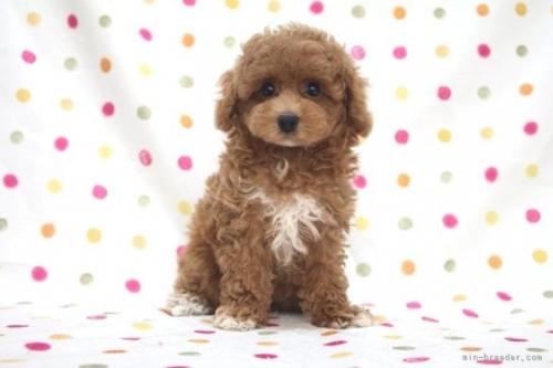 トイプードルの子犬(ID:1236011228)の2枚目の写真/更新日:2020-09-20