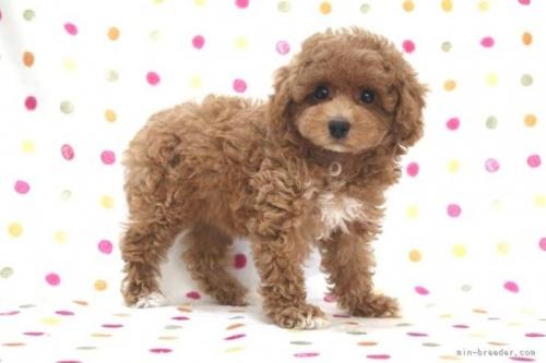 トイプードルの子犬(ID:1236011228)の3枚目の写真/更新日:2020-09-20