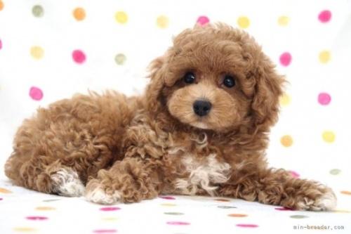 トイプードルの子犬(ID:1236011228)の4枚目の写真/更新日:2020-09-20