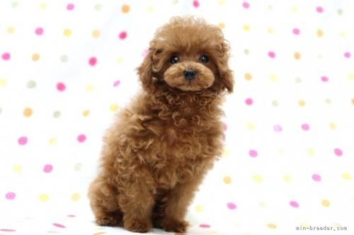 トイプードルの子犬(ID:1236011229)の2枚目の写真/更新日:2021-10-11