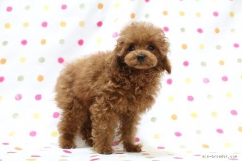 トイプードルの子犬(ID:1236011229)の3枚目の写真/更新日:2021-10-11