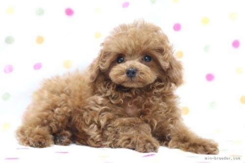 トイプードルの子犬(ID:1236011229)の4枚目の写真/更新日:2021-10-11