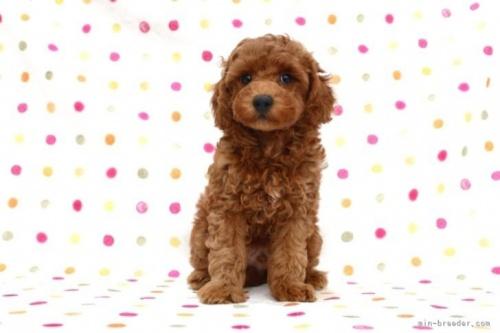 トイプードルの子犬(ID:1236011231)の2枚目の写真/更新日:2020-05-06