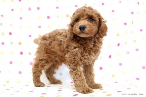 トイプードルの子犬(ID:1236011231)の3枚目の写真/更新日:2020-05-06