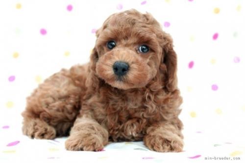 トイプードルの子犬(ID:1236011231)の4枚目の写真/更新日:2020-05-06