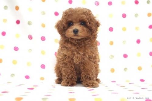 トイプードルの子犬(ID:1236011232)の2枚目の写真/更新日:2020-06-19