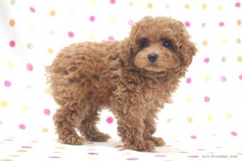 トイプードルの子犬(ID:1236011232)の3枚目の写真/更新日:2020-06-19