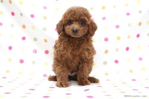 トイプードルの子犬(ID:1236011234)の2枚目の写真/更新日:2019-06-03