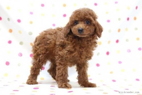 トイプードルの子犬(ID:1236011234)の3枚目の写真/更新日:2019-06-03