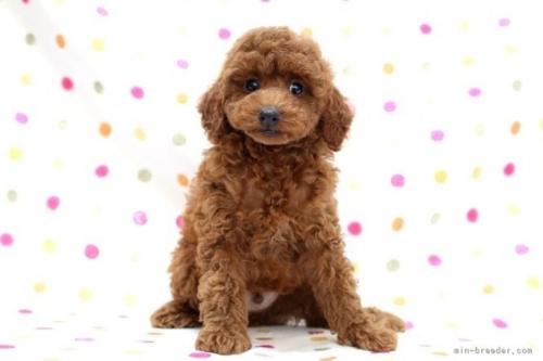 トイプードルの子犬(ID:1236011235)の2枚目の写真/更新日:2019-06-03