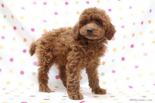 トイプードルの子犬(ID:1236011235)の3枚目の写真/更新日:2019-06-03