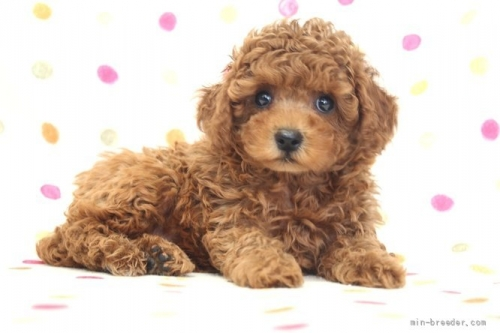 トイプードルの子犬(ID:1236011235)の4枚目の写真/更新日:2019-06-03