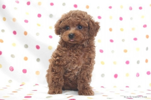 トイプードルの子犬(ID:1236011236)の2枚目の写真/更新日:2019-06-03