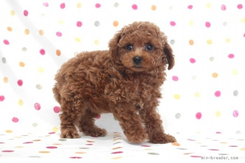 トイプードルの子犬(ID:1236011236)の3枚目の写真/更新日:2020-08-21