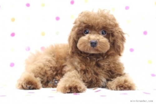 トイプードルの子犬(ID:1236011236)の4枚目の写真/更新日:2019-06-03