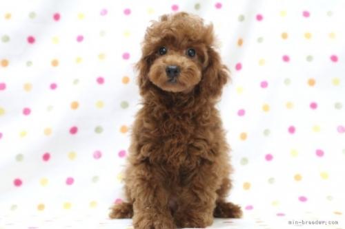 トイプードルの子犬(ID:1236011237)の2枚目の写真/更新日:2019-06-03