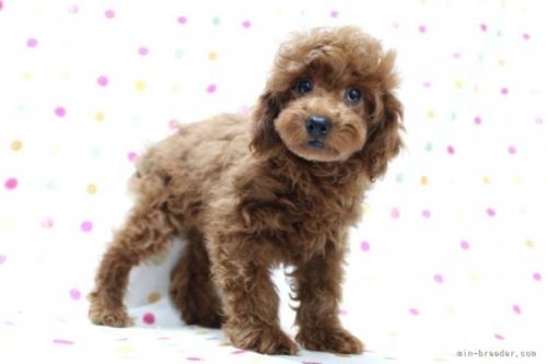 トイプードルの子犬(ID:1236011237)の3枚目の写真/更新日:2021-10-26