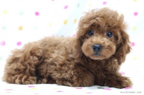 トイプードルの子犬(ID:1236011237)の4枚目の写真/更新日:2021-10-26