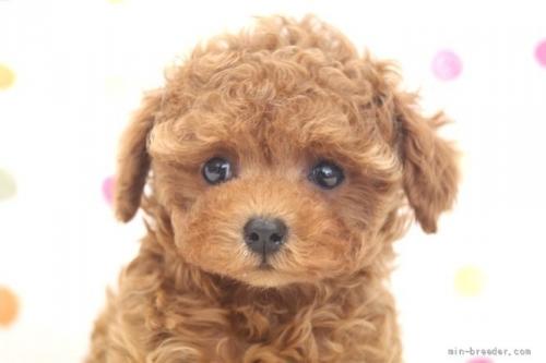 トイプードルの子犬(ID:1236011238)の1枚目の写真/更新日:2019-06-03