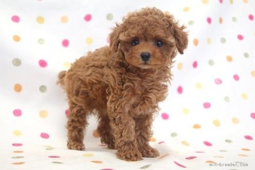 トイプードルの子犬(ID:1236011238)の3枚目の写真/更新日:2019-06-03