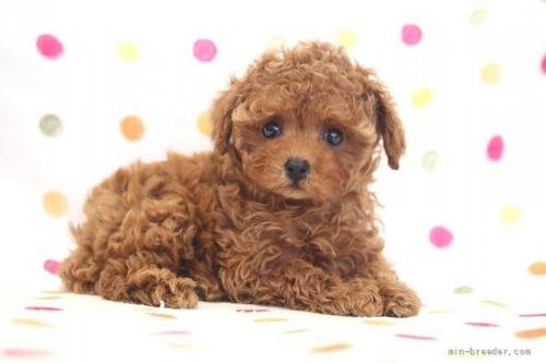 トイプードルの子犬(ID:1236011238)の4枚目の写真/更新日:2019-06-03