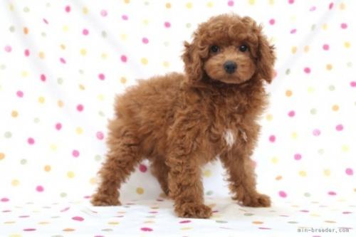 トイプードルの子犬(ID:1236011239)の3枚目の写真/更新日:2019-06-07