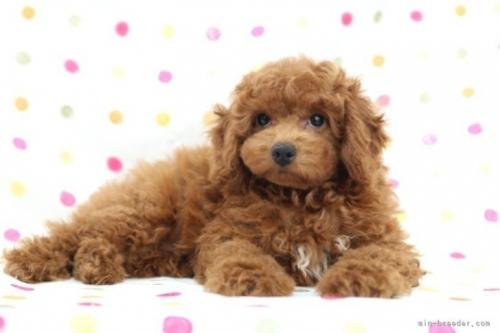 トイプードルの子犬(ID:1236011239)の4枚目の写真/更新日:2019-06-07