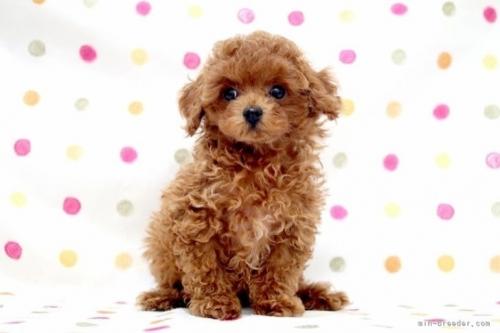 トイプードルの子犬(ID:1236011240)の2枚目の写真/更新日:2019-06-07
