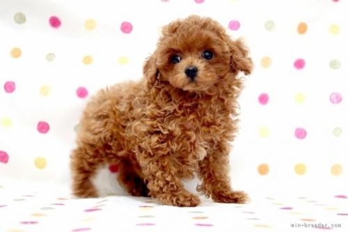 トイプードルの子犬(ID:1236011240)の3枚目の写真/更新日:2019-06-07