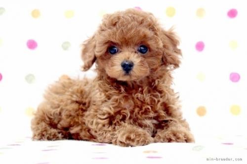 トイプードルの子犬(ID:1236011240)の4枚目の写真/更新日:2019-06-07