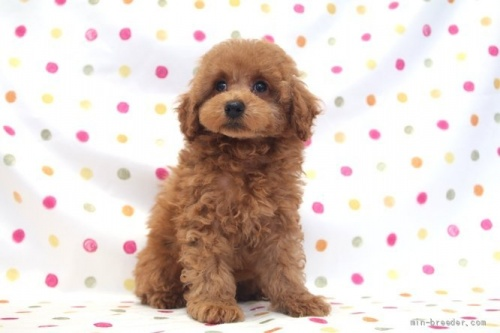 トイプードルの子犬(ID:1236011241)の2枚目の写真/更新日:2019-06-07