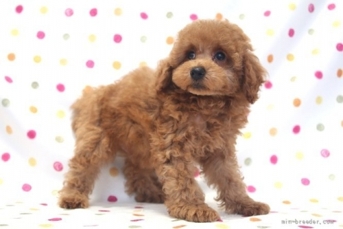 トイプードルの子犬(ID:1236011241)の3枚目の写真/更新日:2019-06-07