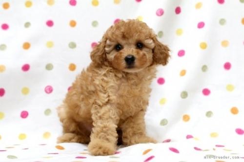 トイプードルの子犬(ID:1236011242)の2枚目の写真/更新日:2019-06-07
