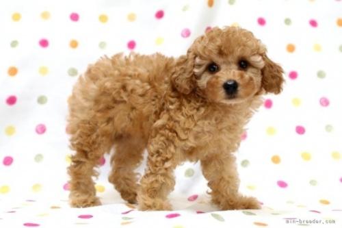 トイプードルの子犬(ID:1236011242)の3枚目の写真/更新日:2019-06-07