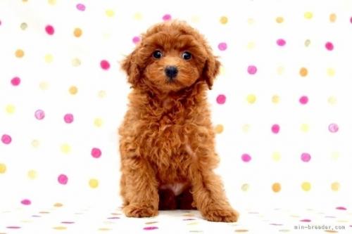 トイプードルの子犬(ID:1236011243)の2枚目の写真/更新日:2019-06-07