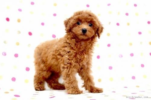 トイプードルの子犬(ID:1236011243)の3枚目の写真/更新日:2019-06-07