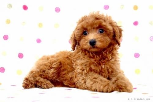 トイプードルの子犬(ID:1236011243)の4枚目の写真/更新日:2019-06-07