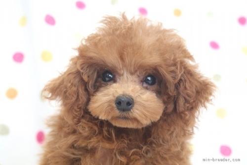 トイプードルの子犬(ID:1236011244)の1枚目の写真/更新日:2019-06-07