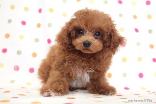 トイプードルの子犬(ID:1236011244)の2枚目の写真/更新日:2019-06-07