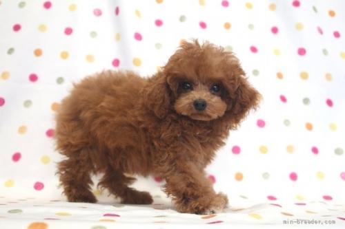 トイプードルの子犬(ID:1236011244)の3枚目の写真/更新日:2019-06-07