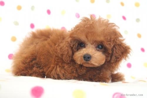 トイプードルの子犬(ID:1236011244)の4枚目の写真/更新日:2019-06-07