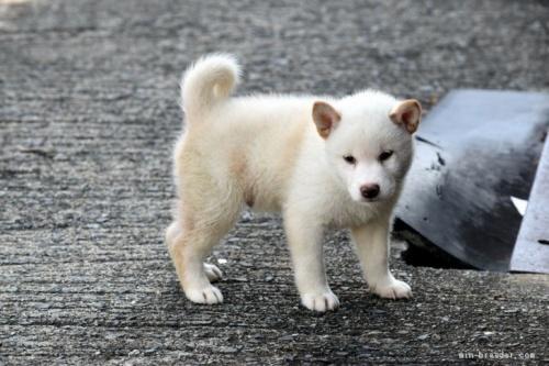 柴犬の子犬(ID:1236111019)の3枚目の写真/更新日:2018-08-24