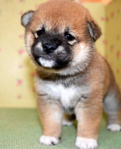 柴犬の子犬(ID:1236111022)の1枚目の写真/更新日:2018-08-24