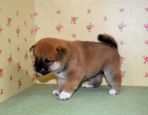 柴犬の子犬(ID:1236111022)の2枚目の写真/更新日:2018-08-24